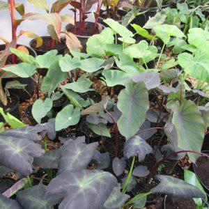 Colocasias